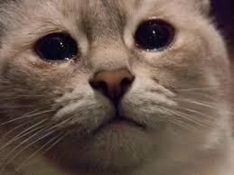 ネコ 泣く